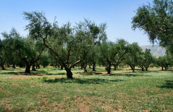 olivkovay rosha